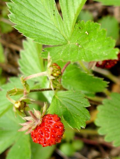 fraisedesbois2.jpg